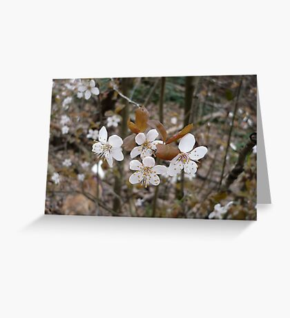 Wild Cherry Blossoms Greeting Card