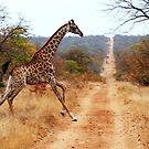 Giraffe running across the road by gogston