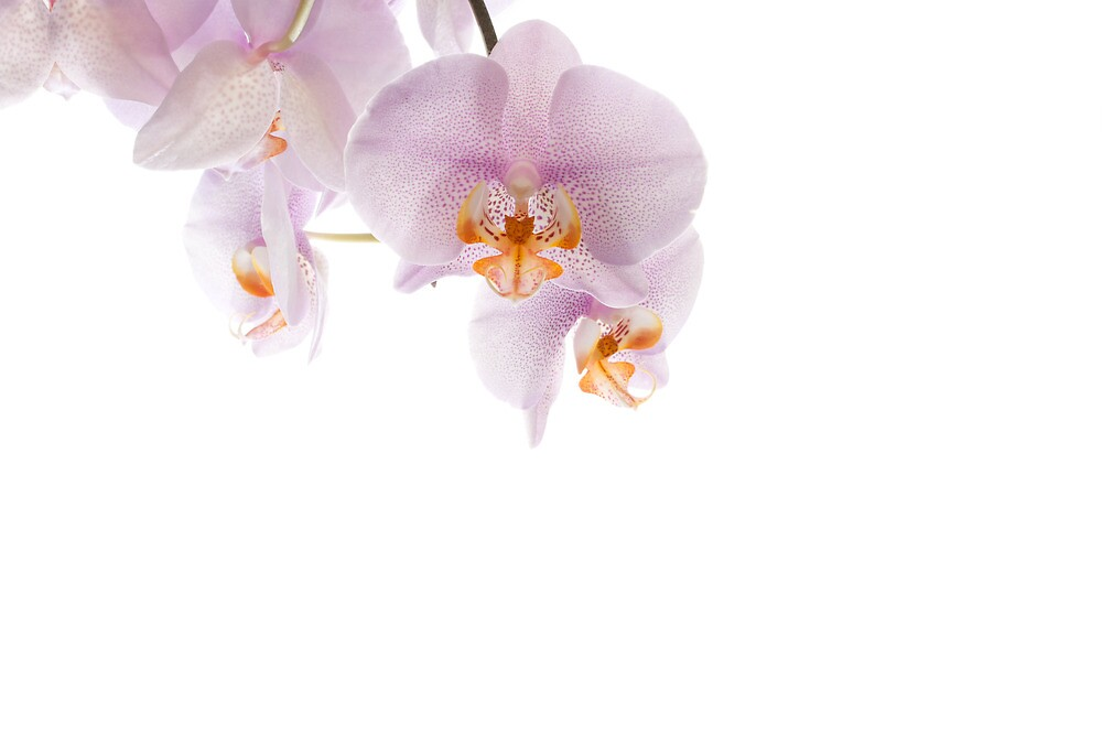 Orchidaceae by Lennox George