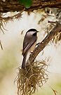 Carolina Chickadee-Oil Painting by Paul Wolf