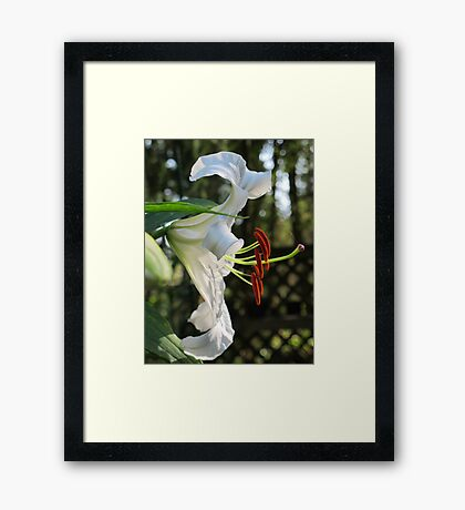 The Ever Graceful Casa Blanca Lily Framed Print