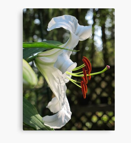 The Ever Graceful Casa Blanca Lily Canvas Print