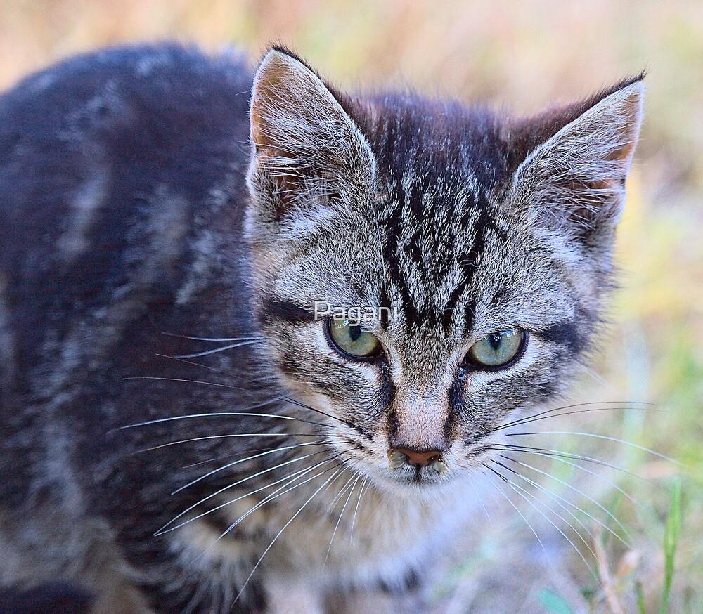 Little Feral Tabby Kitten - FeralKittens.Org by Chriss Pagani