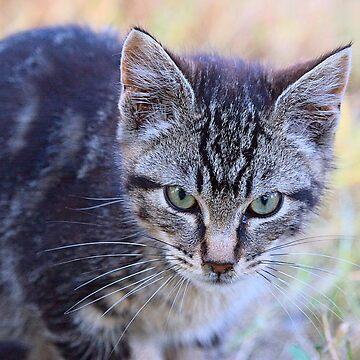 Little Feral Tabby Kitten - FeralKittens.Org by Pagani