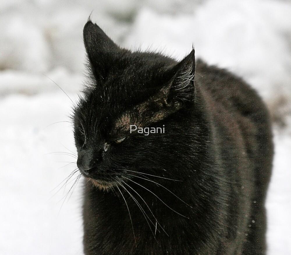 Black Cat, White Snow - FeralKittens.Org by Chriss Pagani
