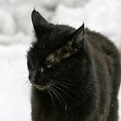 Black Cat, White Snow - FeralKittens.Org by Chriss Pagani