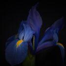 Iris by KathleenRinker