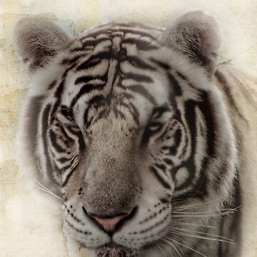 Vanna, the White tiger by vigor