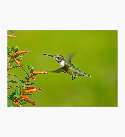 My Little BackYard Buddy (hummingbird) Photographic Print