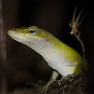 Geco or Lizzard? by vasu