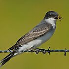 Eastern Kingbird with Wasp by photosbyjoe
