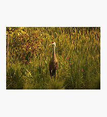 Sandhill Crane Standing on Shoreline Photographic Print