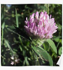 Wildflower series: Wild White Clover, No. 1 Poster