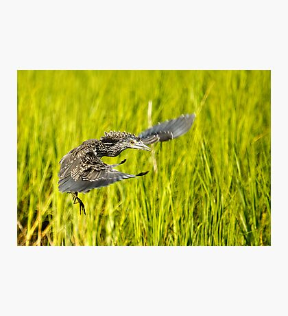 Young Night Heron - Yippie I can Fly Photographic Print