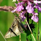 Autographa gamma by Russell Couch