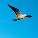 Pacific Gull by Janette Rodgers