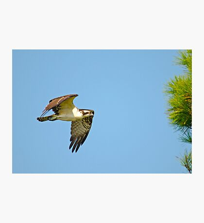 Osprey on the Hunt Photographic Print