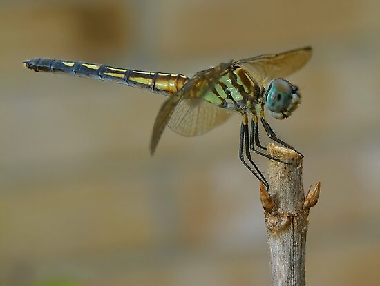 Dragonfly by Paul Wolf