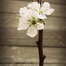 Blossom by Vanessa Barklay