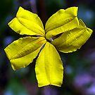 Goodenia ovata (hop Goodenia) by Bev Pascoe