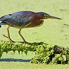 Green Heron Fishing by John Absher
