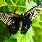 Swallowtail by TREVOR34