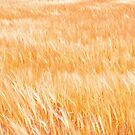 Breeze on Grain by Robert C Richmond