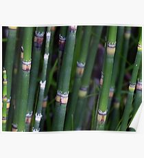 Scouring Rush Horsetail Plant Nature Green Poster