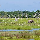 Grazing - Yala National Park by Dilshara Hill