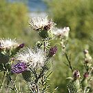 Thistles by PPPhotoArt