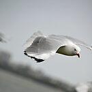 Seagull in Flight by TheaShutterbug