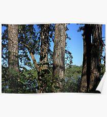 Five old balsam poplar trees Poster