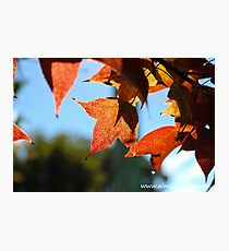 Sweet Gum Leaves Photographic Print