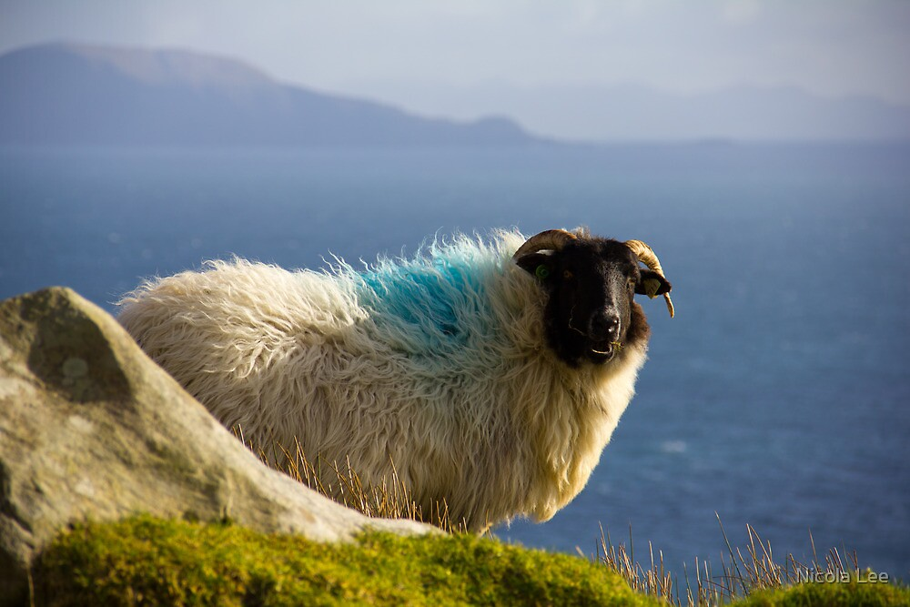 Sheep in Achill by Nicola Lee