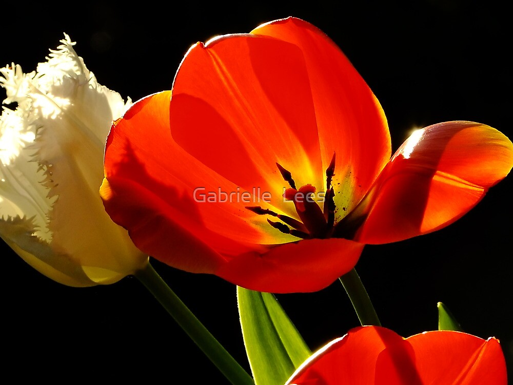 Tulip Delight by Gabrielle  Lees