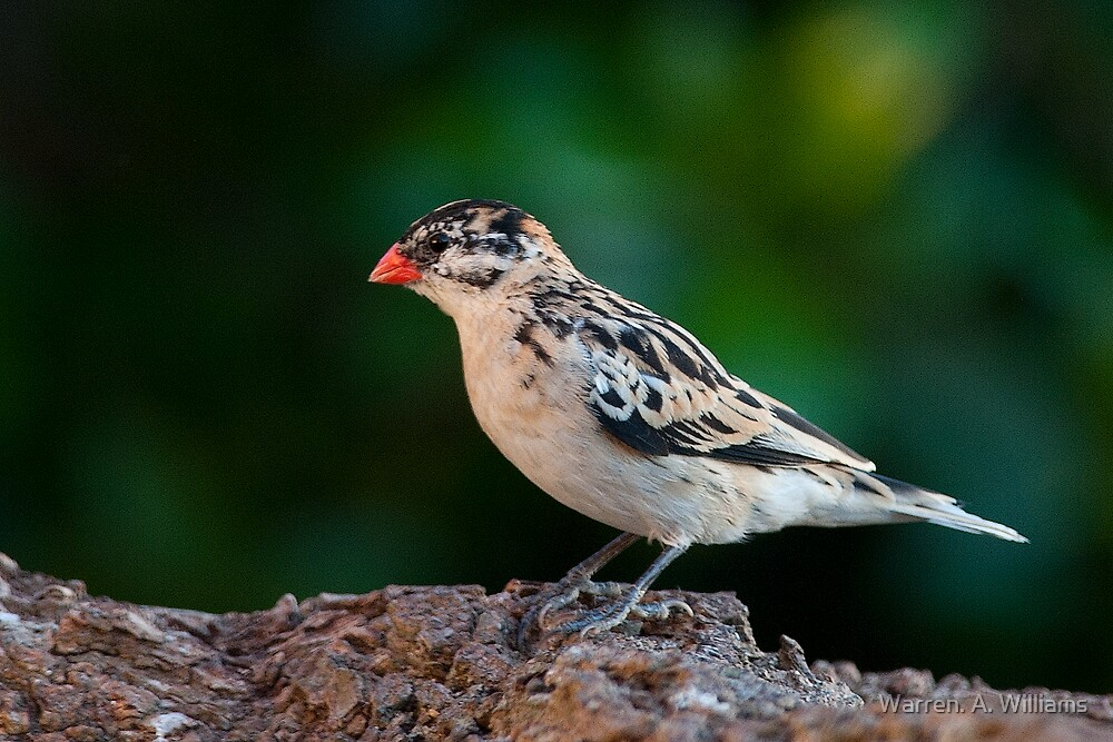 Pin-Tailed Whydah by Warren. A. Williams