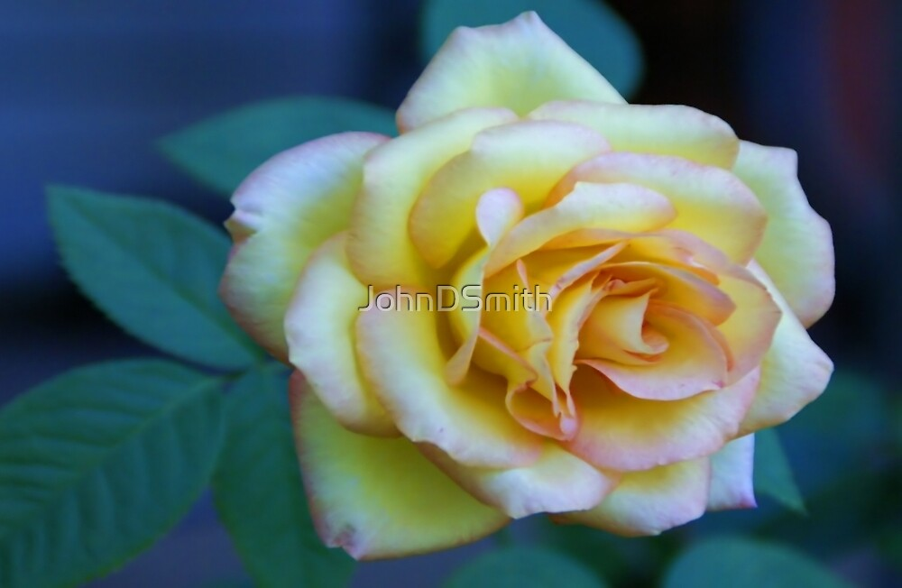 The Friendship Rose by JohnDSmith