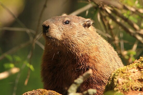 Close Encounter with a Groundhog by hummingbirds