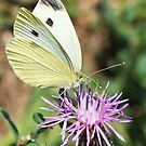 Cabbage White On Spotted Knapweed by Renee Blake