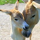 Persian Onager by Brent McMurry