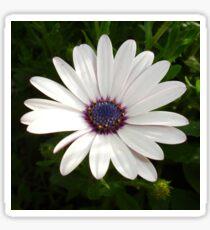 Beautiful Osteospermum White Daisy With Purple Center  Sticker