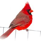 Red Bird by NatureGreeting Cards ©ccwri