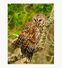 Barred Owl (Strix varia) Photographic Print