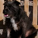 Bailey - The Patterdale (Fell Terrier) VII by Chris Clark