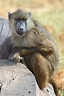 Yellow Baboon Alert While Resting by Carole-Anne