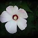 White Hibiscus by VJSheldon