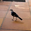 Strolling Magpie Lark by -aimslo-