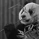 panda by T.O. Ang