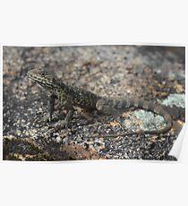 Ctenophorus ornatus_Mt Dale_WA Poster