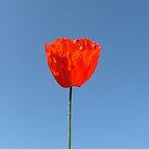 Poppy in the Sky - iPHONE/iPOD Case by KUJO-Photo